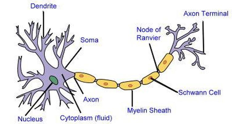 2D labelled diagram - Nerve cell